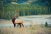 bull elk above river fall colors,