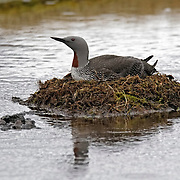 A red-throated diver (Gavia stellata) sits on its nest located on a small pond in southern Iceland. Red-throated divers breed all along the Icelandic coast by ponds, lakes, and rivers, wherever fish is plentiful.