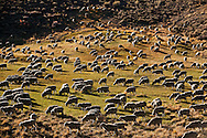 A herd of sheep graze near the town of Bodie..The autumn season in the Eastern High Sierra area of California. .Thousands of trees are changing colors and producing brilliant and vibrant colors leaves all over the Eastern Sierra valley.