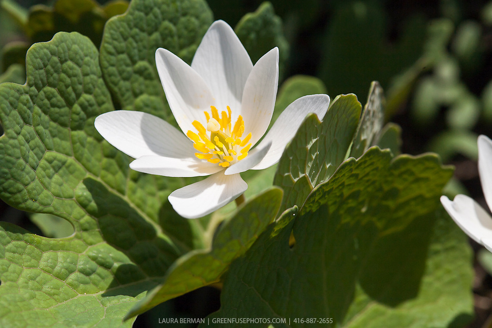 Bloodroot (Sanguinaria canadensis) a perennial native North American spring ephemeral.