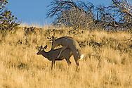 Mule deer buck (Odocoileus hemionus) breeding doe west of Livingston Montana<br /> PROPERTY RELEASED