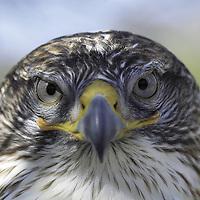 Ferruginous  Hawk ( Buteo regalis ). Saguaro National Park&amp;#xA;Sonoran Uplands Desert Scrub Habitat, Arizona, United States&amp;#xA;&copy; Kike Calvo - V&amp;W&amp;#xA;( raptor, bird of prey, nocturnal, eye contact, animal, vision, horned<br />