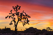 Joshua trees at sunrise; Joshua Tree National Park, California.