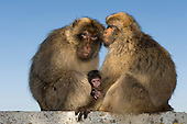 Barbary Macaques Gibraltar