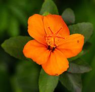 Known as Koki'o 'ula'ula in hawaiian, Hibiscus kokio subsp. saintjohnnianus is endemic to Kaua'i, Hawai'i.