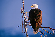 Alaska. Bald eagle (Haliaeetus leucocephalus)  sits in a cottonwood tree earching for prey of rodents and fish.  Brown and White feathers at maturity.  50,000 bald eagles live in Alaska.