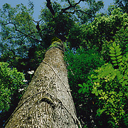 Brazil nut tree, Bertholletia excelsa, family Lecythidaceae in Tropical Rain Forest, Amazon rainforest, Para, Brazil