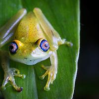 Green Bright-eyed Frog, Boophis viridis, from Andasibe