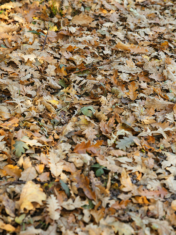 Autumn leaves lying on the ground on Wimbledon Common, London
