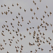 A large flock of European starlings (Sturnus vulgaris) flies over a field in Mount Vernon, Washington. When a predator is near, starlings fly together in a tight group. Such flocks are often visible for great distances.