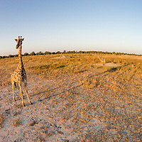Africa, Botswana, Moremi Game Reserve, Aerial view of Giraffe (Giraffa camelopardalis) in Okavango Delta at sunset