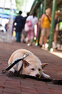 My dog, Nekoe, waits patiently for me while I purchase vegetables from the vendors on the Eastern Market Farmers' Line.