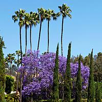 USA, California, Los Angeles. Purple jacaranda blooms along palm trees in West Hollywood.