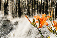 Town of Wallkill, New York - Tiger lillies by a waterfall on June 22, 2015.