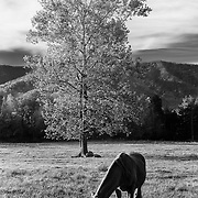 Grazing Horse Cades Cove - Great Smoky Mountains - Autumn - Infrared Black & White