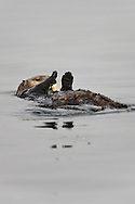 A California Sea Otter (Enhydra lutris) warms his paws by keeping them out of the water  - Elkhorn Slough, California