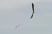 Bald eagle, in hot pursuit of a seagull. Elwha River, Port Angeles WA.