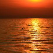 Bottlenose Dolphin dorsal fin breaching surface at sunset, sunrise