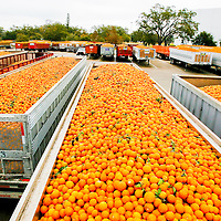 BRADENTON, FL -- January 13, 2009 -- Truck beds carrying over 100,000 oranges each are seen in the truck yard at the Tropicana plant, where they are usually processed within 24 hours,  in Bradenton, Fla., on Tuesday, January 13, 2009.   Pepsico has paired up with Carbon Trust to measure their carbon footprint in the making of Tropicana Pure Premium Orange Juice, a task they are going to apply to their other brands.  (Chip Litherland for The New York Times)