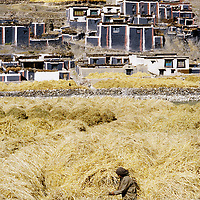 Barley growing in Shigatse. //// Culture d'orge dans la région de Shigatse.