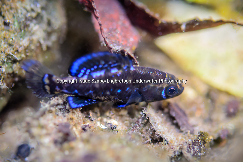 Gulf Coast Pygmy Sunfish<br /> <br /> Isaac Szabo/Engbretson Underwater Photography