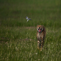 A pied kingfisher and a cheetah hanging out in the savanna, Lewa Wildlife Conservancy, Kenya. Cheetahs can accelerate to 100 kmph in less than 3 seconds and for up to one minute. During those sprints, they spend more time in the air than on the ground. Pied kingfishers (Ceryle rudis) are the largest birds capable of hovering. They are the only kingfishers sporting a black and white plumage.