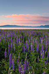 """""""Tahoe Lupine at Sunrise 3"""" - These Lupine wildflowers and sunrise were photographed at Lake Forest Beach, Lake Tahoe."""