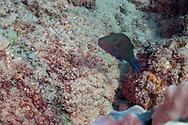 Ambon Toby, Canthigaster amboinensis, (Bleeker, 1865), Molokai Hawaii