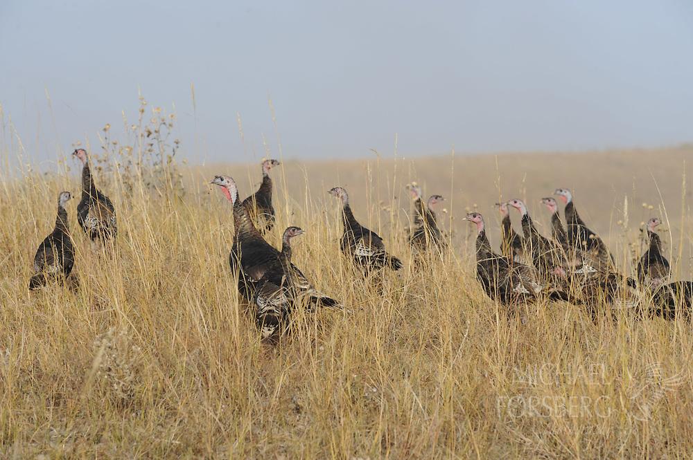 WILD TURKEY flock...Nebraska Sandhills, Cherry County..