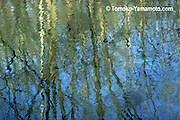 This is an impressionist reflection photo by Tomoko Yamamoto, in which many reflections are shown in the water  of basically bare tall trees and some low shrubbery in green on the other bank of the Patapsco River in spring at Patapsco State Park, Baltimore Country, Maryland.  The reflections of a blue sky makes the background  for the tree and shrub reflections. Original on 35mm slide film.  Good for enlargements.
