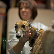 Retired greyhounds rescued for adoption are bathed, groomed and fostered by NJGAP.COM volunteers.