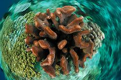 Stony coral (Pocillopora sp.) Raja Ampat, West Papua, Indonesia, Pacific Ocean   Raja Ampat, West Papua, Indonesien, Pazifischer Ozean