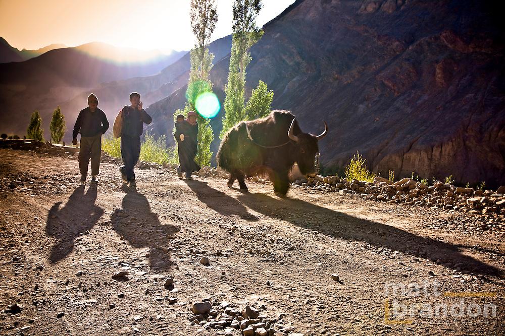 Ladakhi farmers walking their yak to the fields.