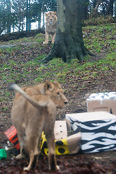Edinburgh Zoo's very own 'king of the beasts' - Asiatic lion juvenile Jayendra - celebrated his 2nd birthday in style, but watches as resident female Kamlesh steals his cake..©Michael Schofield.