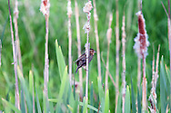 Female Red-winged Blackbird (Agelalus phoeniceus) in the Cattails at Elgin Heritage Park in Surrey, British Columbia, Canada