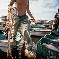 Las empacadoras chinas y coreanas compran el manto del calamar principalmente pero a veces también solicitan las cabezas las cuales son pagadas a un precio menor ($1 peso el kilo)