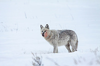 Gray wolf (Canis lupes)at elk carcass in winter
