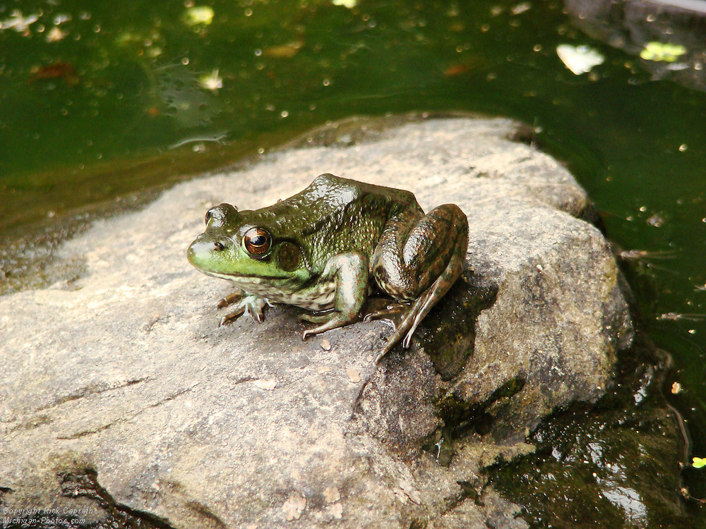 Frog, Burned Dam Falls, Michigan's Upper Peninsula