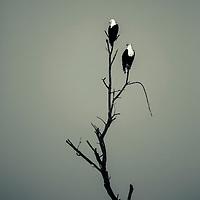 African Fish Eagles on a dead tree in the Samburu region of northern Kenya