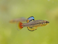 Bluefin Killifish<br />