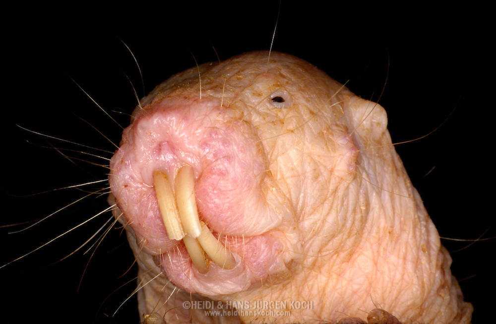 Deu, Deutschland: Nacktmull (Heterocephalus glaber), Portraet, close-up, lange Nagezaehne, nackt, haarlos, Zoo Dresden, Sachsen | DEU, Germany: Naked Mole Rat (Heterocephalus glaber), portrait, close-up, long teeth, naked, hairless, Zoo Dresden, Free State of Saxony