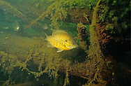 Hybrid Sunfish (Bluegill-Green Sunfish)<br />