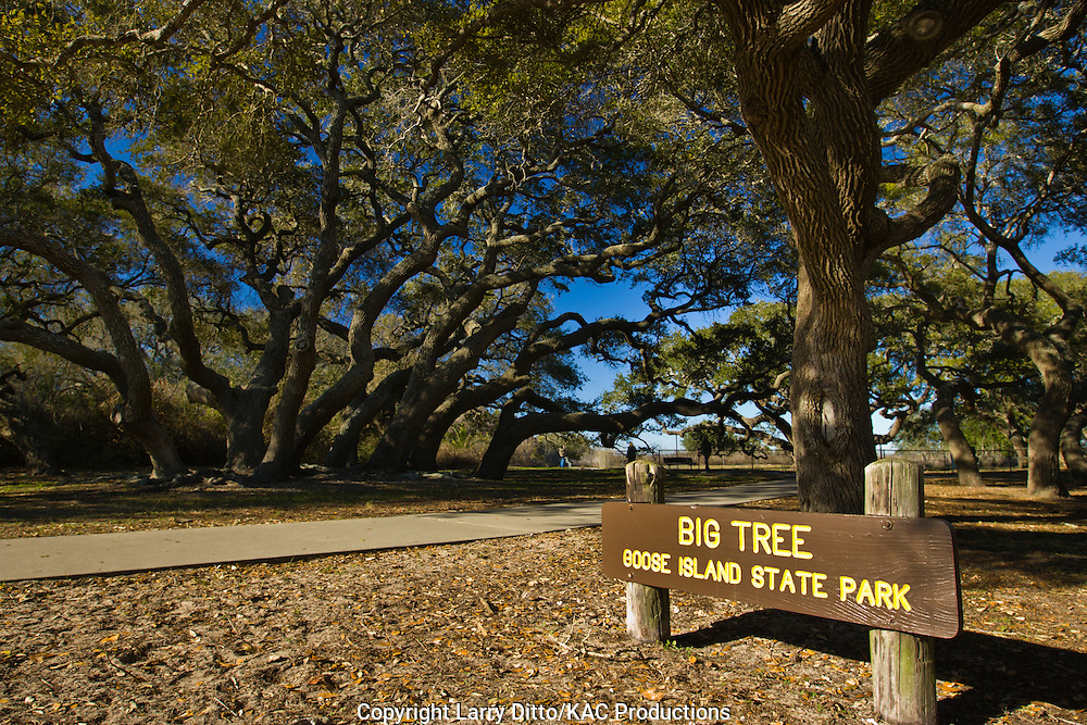 """Big Tree"" trail at Goose Island State Park, Texas"