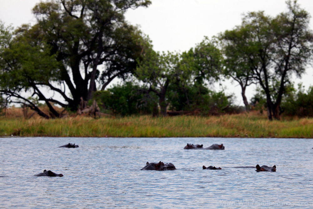 Africa, Botswana, Okavango Delta. Hippo pod of the Okavango Delta.
