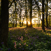 Bluebells at sunset in Leigh Woods in Bristol, Somerset.