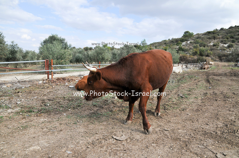Free grazing cattle