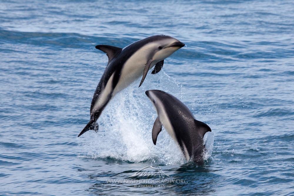 Dusky Dolphin pictures and photos, Kaikoura, New Zealand