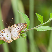 White peacock butterfly (Anartia jathrophae). Florida.