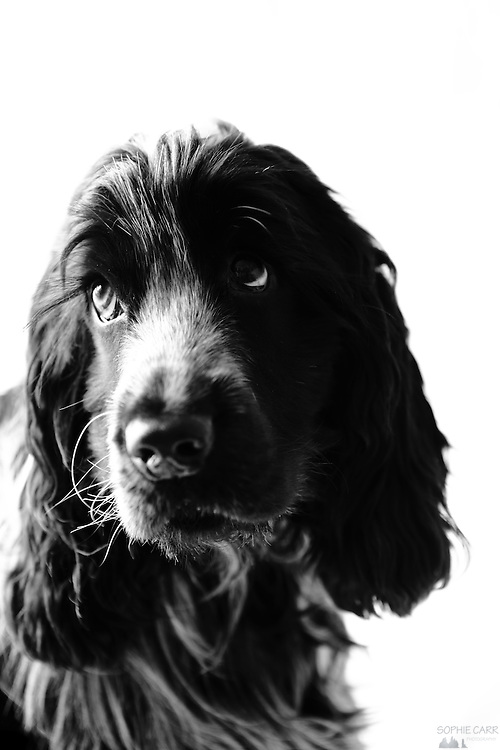 Henry the blue roan cocker spaniel (aged 1), in black and white.