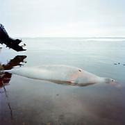 BARROW, ALASKA - 2007: SEAL<br /> <br /> 14x14 Print<br /> 20x20 Frame<br /> <br /> Type C Print<br /> <br /> $200.00